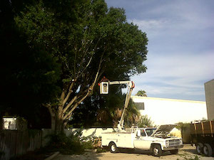 Oak Tree Cleaning by Tree Guys Online Melbourne Florida