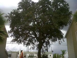 Oak Tree Thinned out and Topped for Safety Tree Guys Online Melbourne Florida