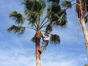 lansing Island Palm Tree Thinned for Safety Tree Guys Online Melbourne Florida