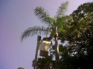 Queen Palm Cleaning by Tree Guys Online Melbourne Florida