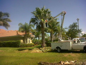 Wshingtonia Palm Cleaning by Tree Guys Online Melbourne Florida